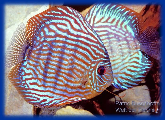 Welt der fische p rchen rott rkis diskusfische im for Skalare zucht